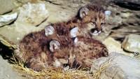 puma-mountain-lion-cubs