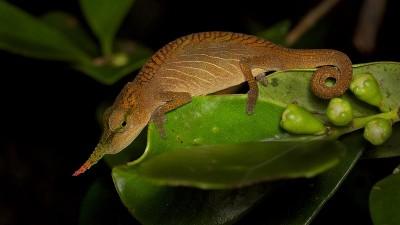 Male long nosed chameleon Madagascar