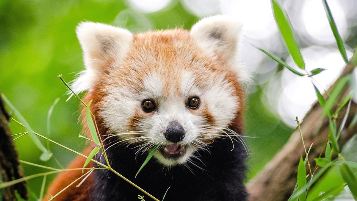Cute baby red panda