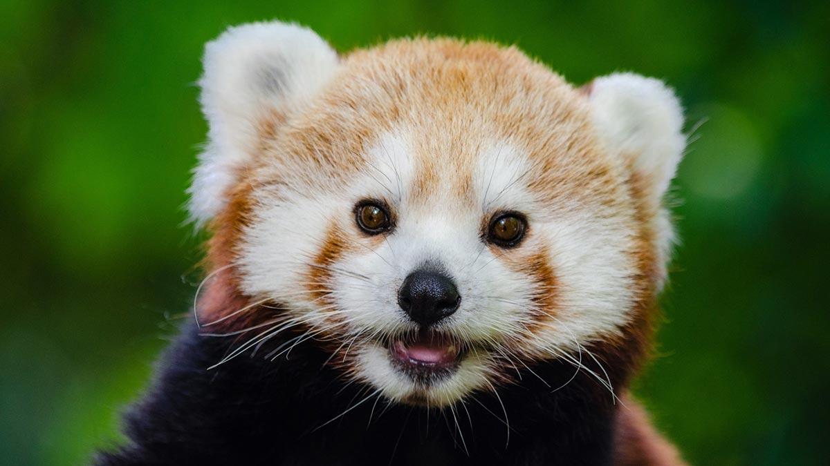Critter Babies   Red Pandas
