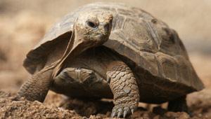A baby tortoise