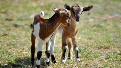 baby-goats-kids
