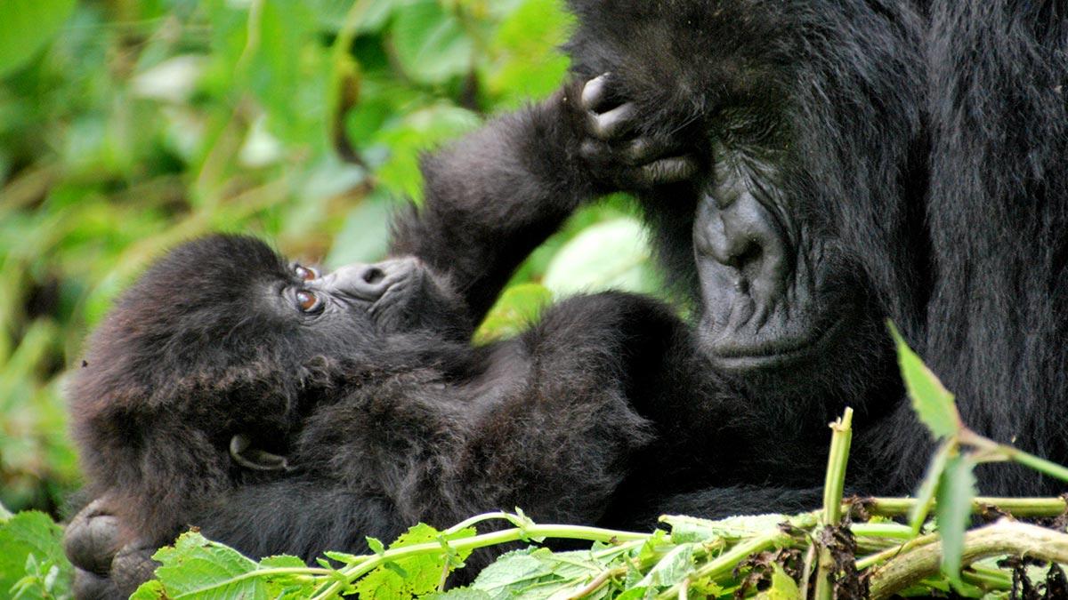 Newborn Silverback Gorilla