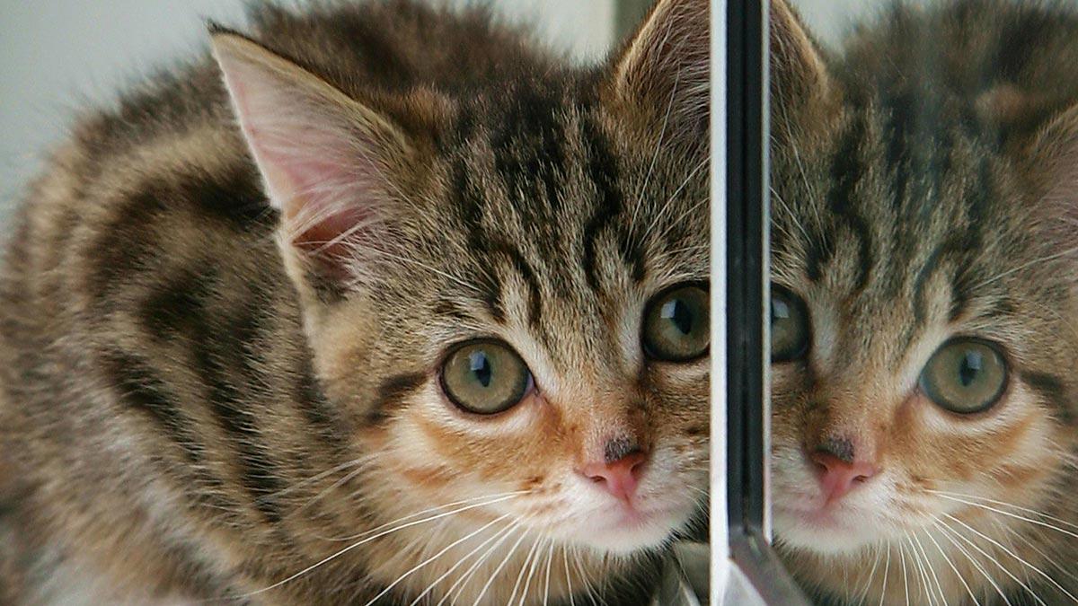 kitten-reflection-mirror