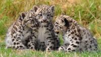 three-snow-leopard-cubs